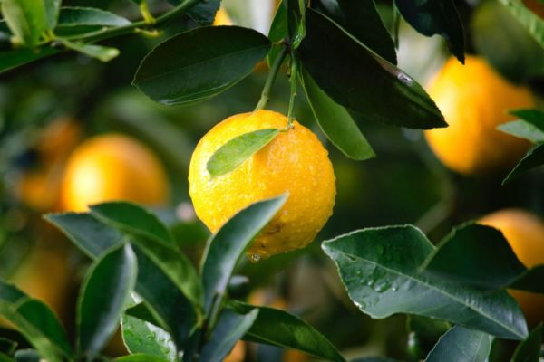 agriculture-citrus-close-up-129574B0F8D76E-5F68-F027-0F91-91BCA572C637.jpg